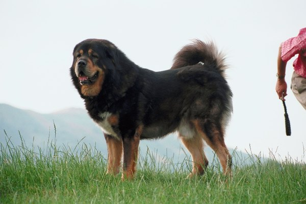 Molossers such as this Tibetan mastiff played an important role in the development of the perro de presa and boerboel.