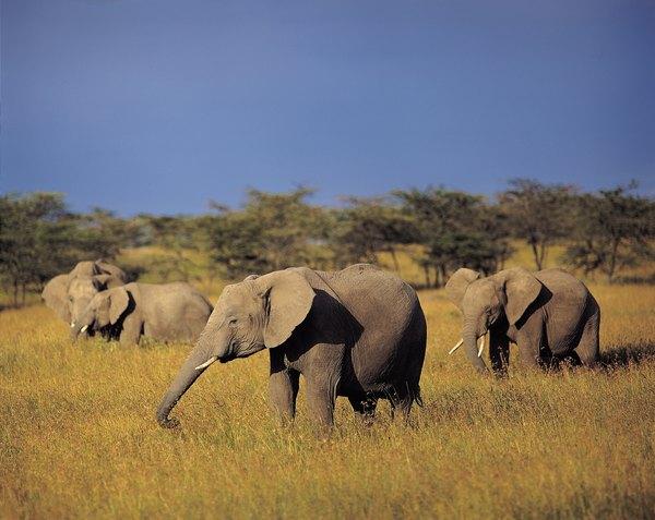 African Elephants Habitat | www.imgkid.com - The Image Kid ...