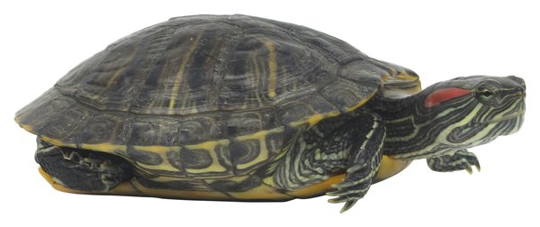 ... slider turtles are tough, but need the right temperature to thrive