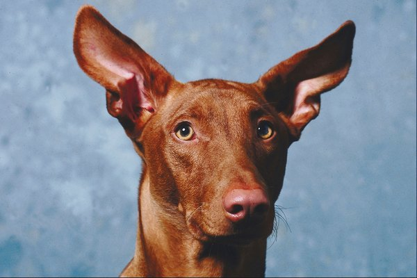 A dog with upright ears can move them independently and locate where sounds are coming from.