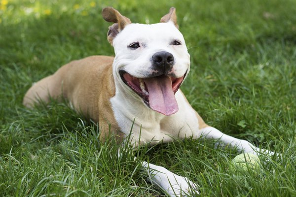 It's up to you to keep a happy, healthy and safe pit bull.