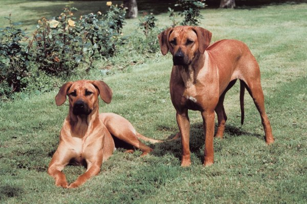 Rhodesian ridgebacks have a line of fur along their spine that faces forward.