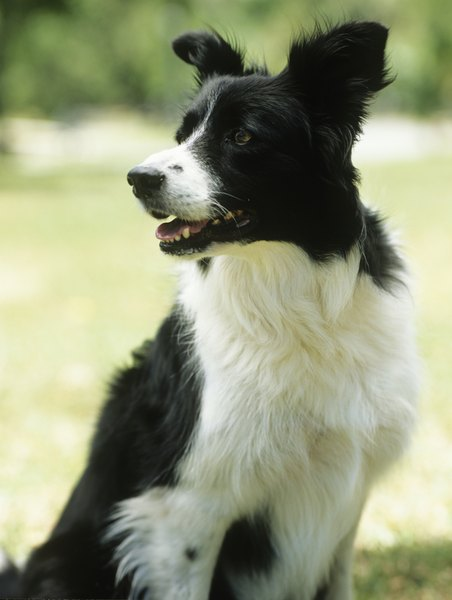 Irish setters and border collies are both loyal companions to their owners.