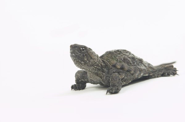 Little turtles can look like fun toys to dogs.
