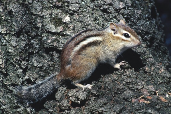 Why Do Chipmunks Have Stripes On Their Backs Animals