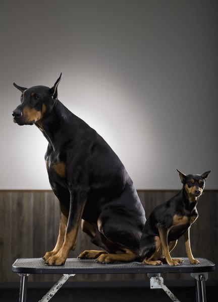 This Doberman pinscher and this miniature pinscher reached maturity at vastly different ages.