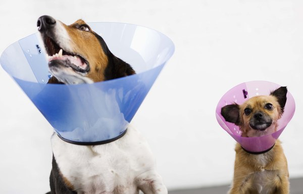 Your dog's nose should be longer than the cone collar.