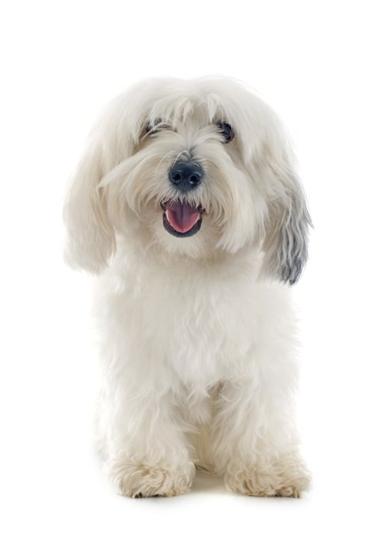The coton de Tulear kept 15th century ships free from rat infestation.