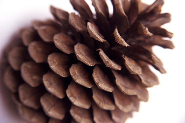 How to tell the difference between a short long leaf for Long pine cones
