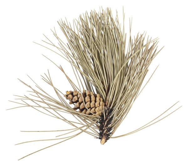 White pine seeds can be collected from ripe unopened cones
