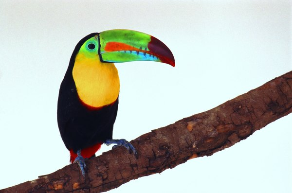 How a Toucan's Beak Works | Animals - mom.me