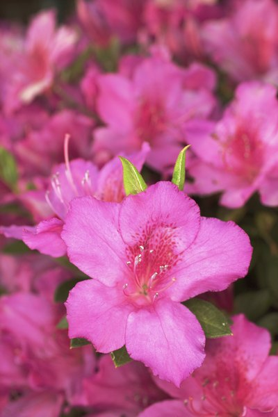 Azaleas might be bold and pretty, but they can cause your pup a lot of problems.