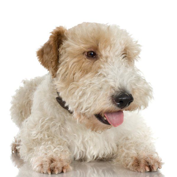 The wheaten's haircut has a natural square look.