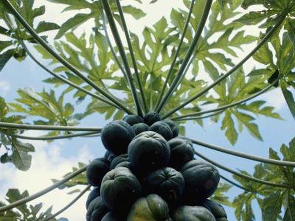 7 Health Benefits Of Eating Dried Papaya