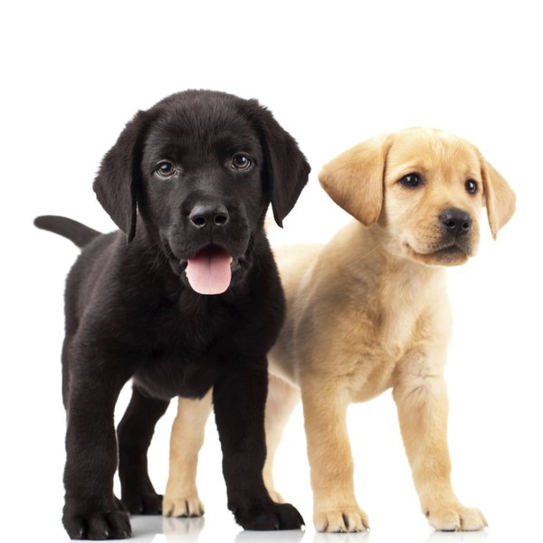 What Color Will Puppies Be if the Mom Is a Yellow Lab  the Dad Is