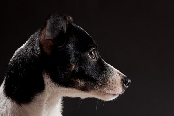 Rat terrier enthusiasts have created several variations on the breed's theme.
