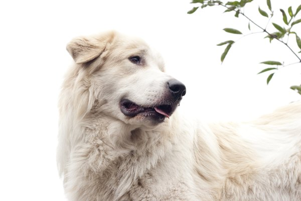 You'll want a fenced yard to ensure your great Pyrenees doesn't extend his borders.