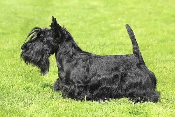 Scotties have a unique profile.
