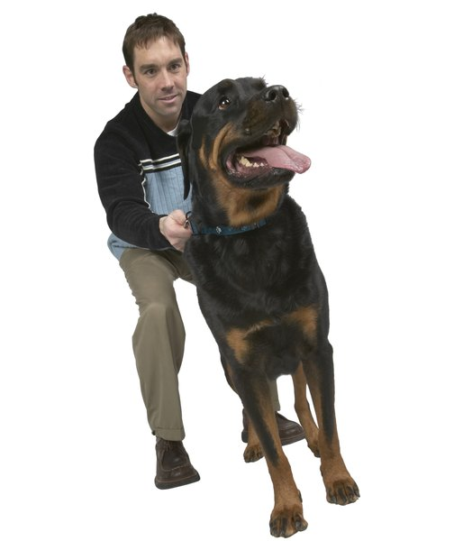 Like the Anatolian shepherd, the Rottweiler needs an owner who is a confident leader.