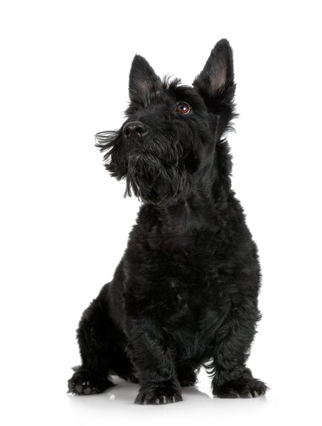 Scottish terriers have a breed predisposition toward developing urothelial carcinoma.