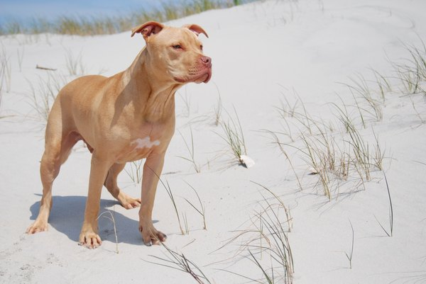 Pit bulls behavior is largely driven by genetics, socialization and training.