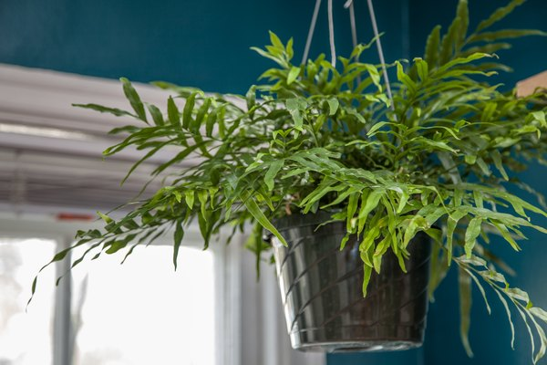 How to Care for Ferns in Hanging Pots Home Guides SF Gate