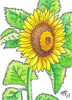 ACEO Sunflower by Robert A. Sloan