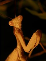 "The typical ""praying"" pose of the praying mantis"