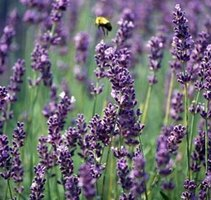 Make Lavender Linen Spray