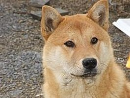 Care for a Jindo