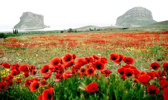 Poppies in Iran