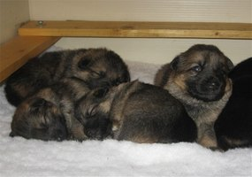 Raise a German Shepherd Litter