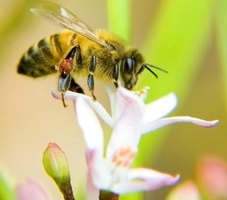Bees carry honey in a sac on their hind legs
