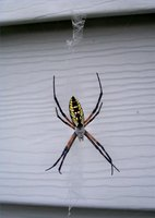 Black and yellow garden spider in South Carolina
