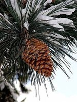 Make Dipped Fragrant Pine Cones