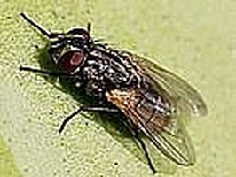 Kill Houseflies without a Flyswatter