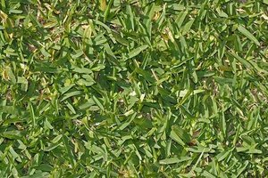 About Raleigh St. Augustine Grass
