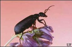About Blister Beetle Bites