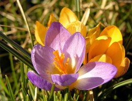 Plant Crocus Bulbs