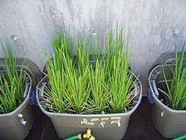 Rice Growing in a Home Garden