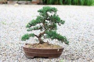 How To Plant Bonsai Ehow