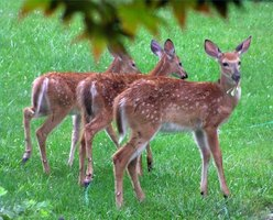 Three fawns chow on some plants.