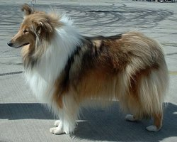 The Rough-coated Collie