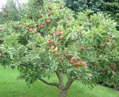 Apple tree in fruit.