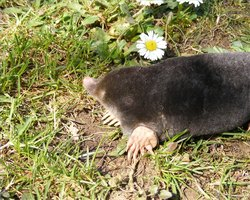 Moles can be captured with a simple homemade trap.