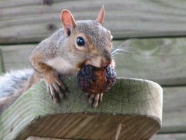 Squirrels are agile and determined foragers