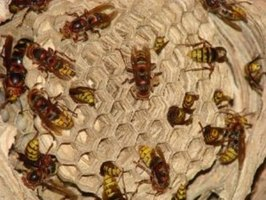 Identify the type of bees before executing a bee hive removal.