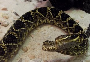 Eastern Diamondbacks are the largest rattlesnakes in North America.