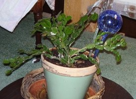 Root A Christmas Cactus House Plant