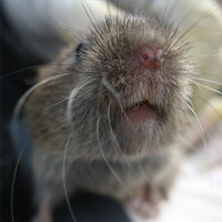 Voles can cause extensive damage to your yard or garden.